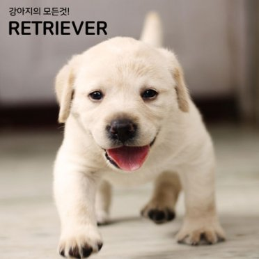 Retriever_Labrador