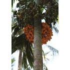 열대과일나무2