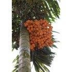 열대과일나무1