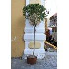 나무250