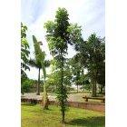 나무 52