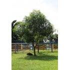 나무 100