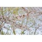 벚꽃 11