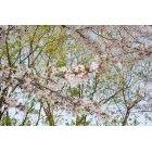 벚꽃 17
