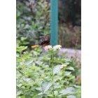 나비 18
