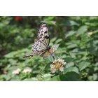 나비 34