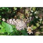나비 55