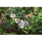 나비 58