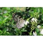 나비 61