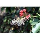 나비 65
