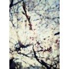 벚꽃 28