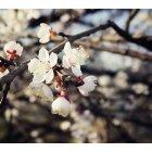 벚꽃 31