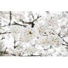 벚꽃 34