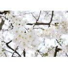 벚꽃 46