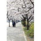 벚꽃 54