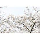 벚꽃 55