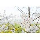 벚꽃 70
