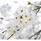 벚꽃 72