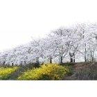벚꽃 78