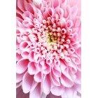꽃 2706